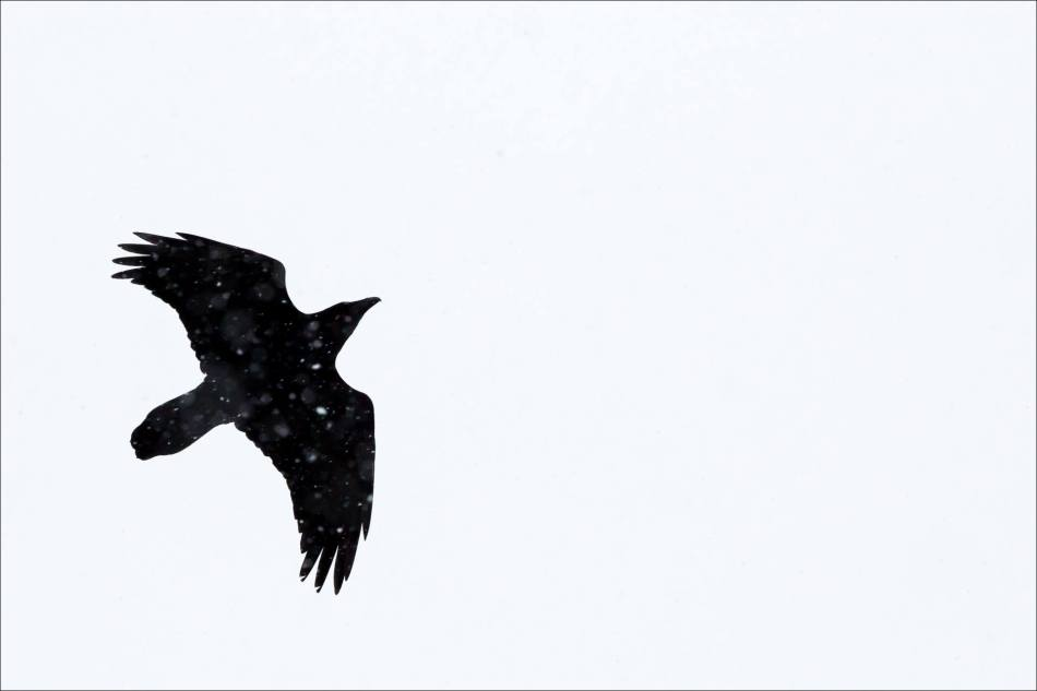 The blizzard raven - 2013 © Christopher Martin