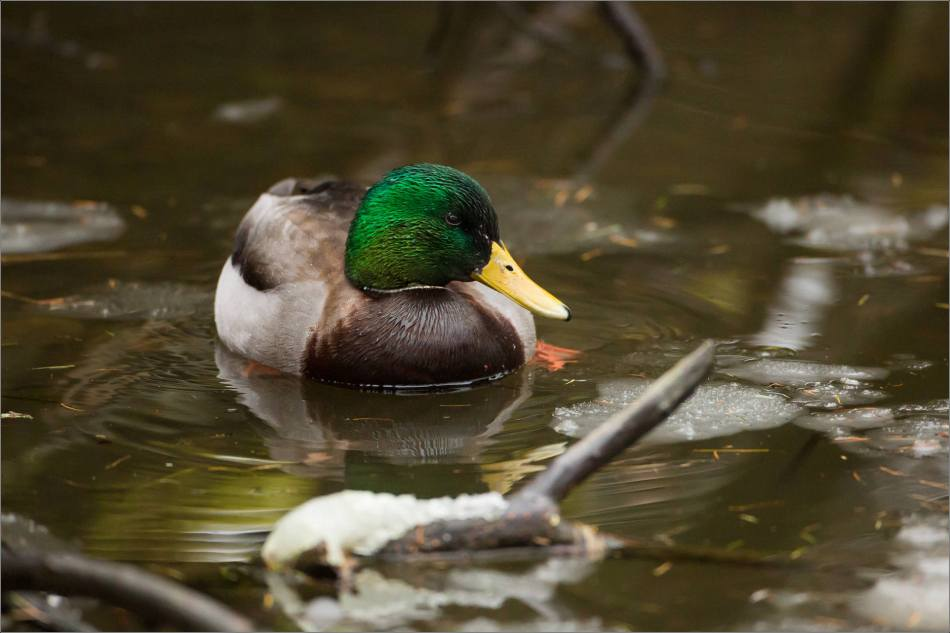 A male Mallard's iridescent cap - 2013 © Christopher Martin