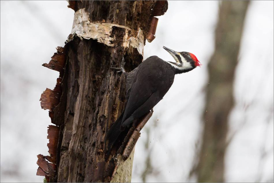 Pileated Woodpecker - © Christopher Martin-70987