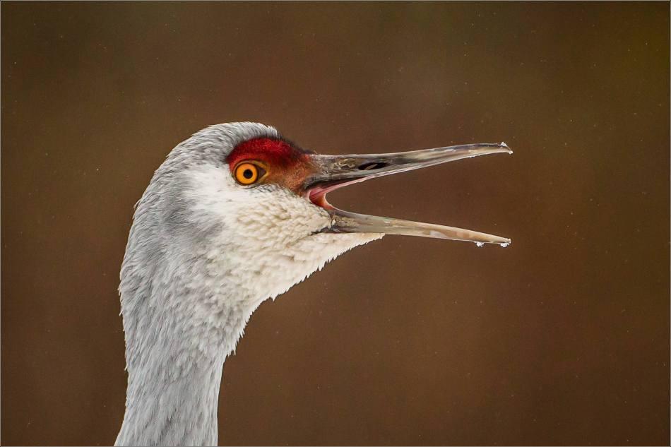 Sandhill Squawk - © Christopher Martin-71887