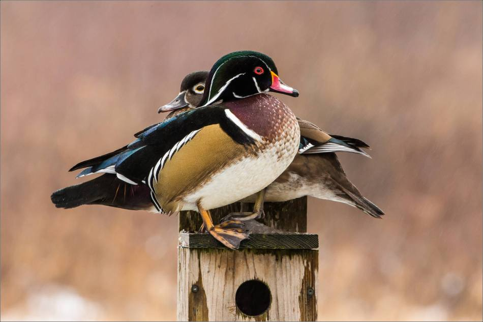 Wood duck perch - 2013 © Christopher Martin
