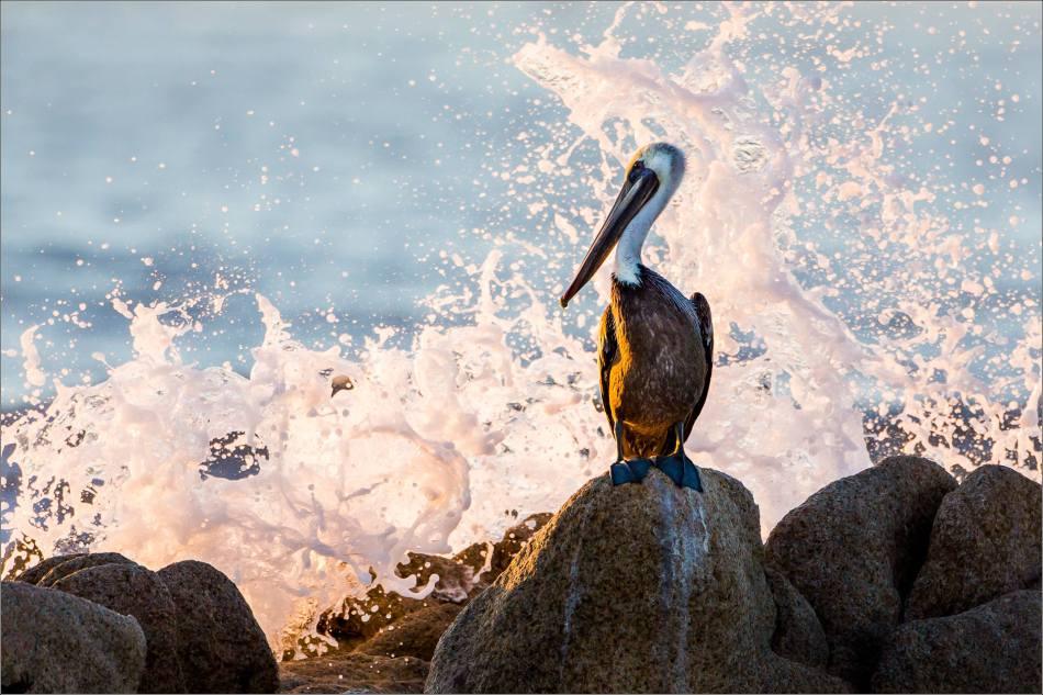 Brown Pelican Launch - © Christopher Martin-5810