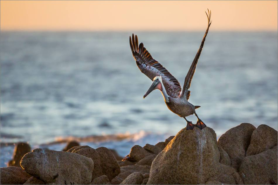Brown Pelican Launch - 2013 © Christopher Martin