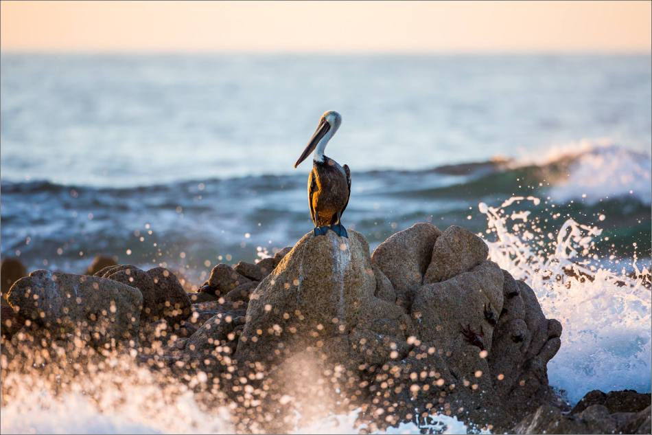 Brown Pelican observations- © Christopher Martin