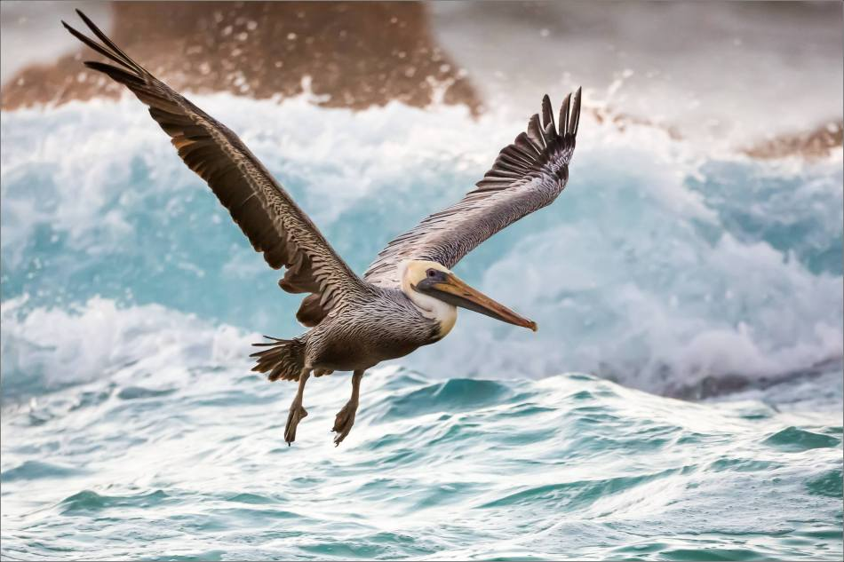 Brown Pelican's sea flight - 2013 © Christopher Martin