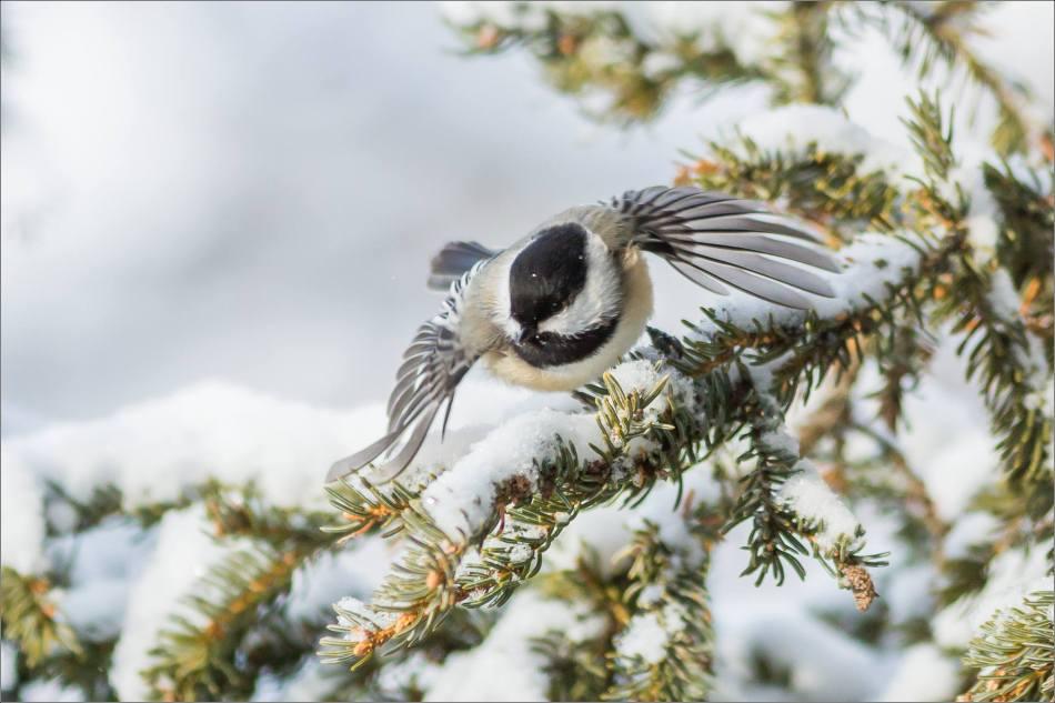 Chickadee flight - 2013 © Christopher Martin