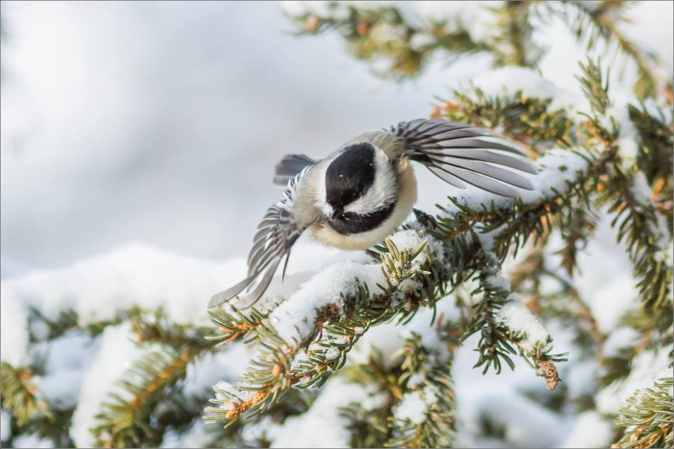 Chickadee flight - 2013 © Christopher Martin
