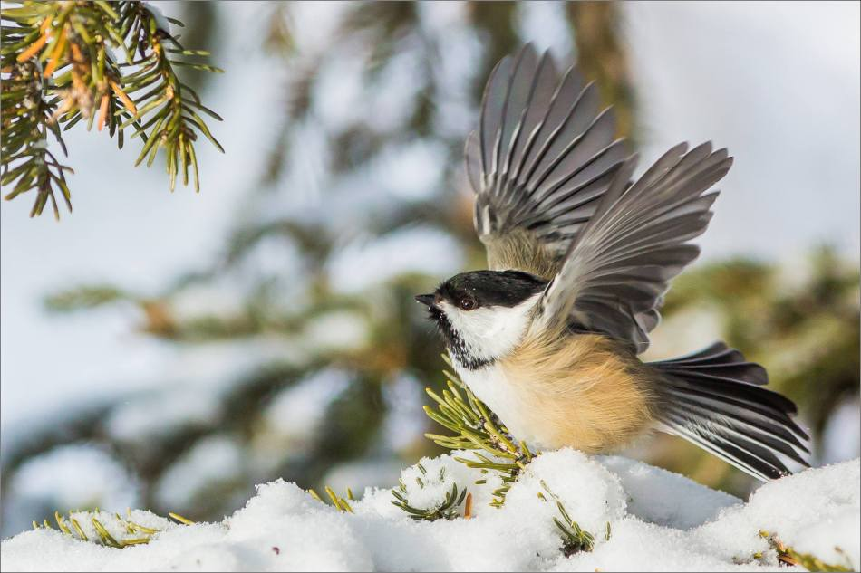 Black-capped Chickadee in sunlight - 2013 © Christopher Martin