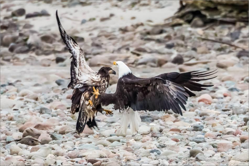 Eagle Battle - 2013 © Christopher Martin-31552