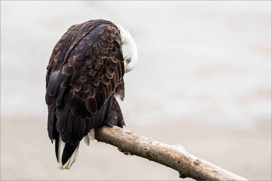 Eagle eye - 2013 © Christopher Martin-34812