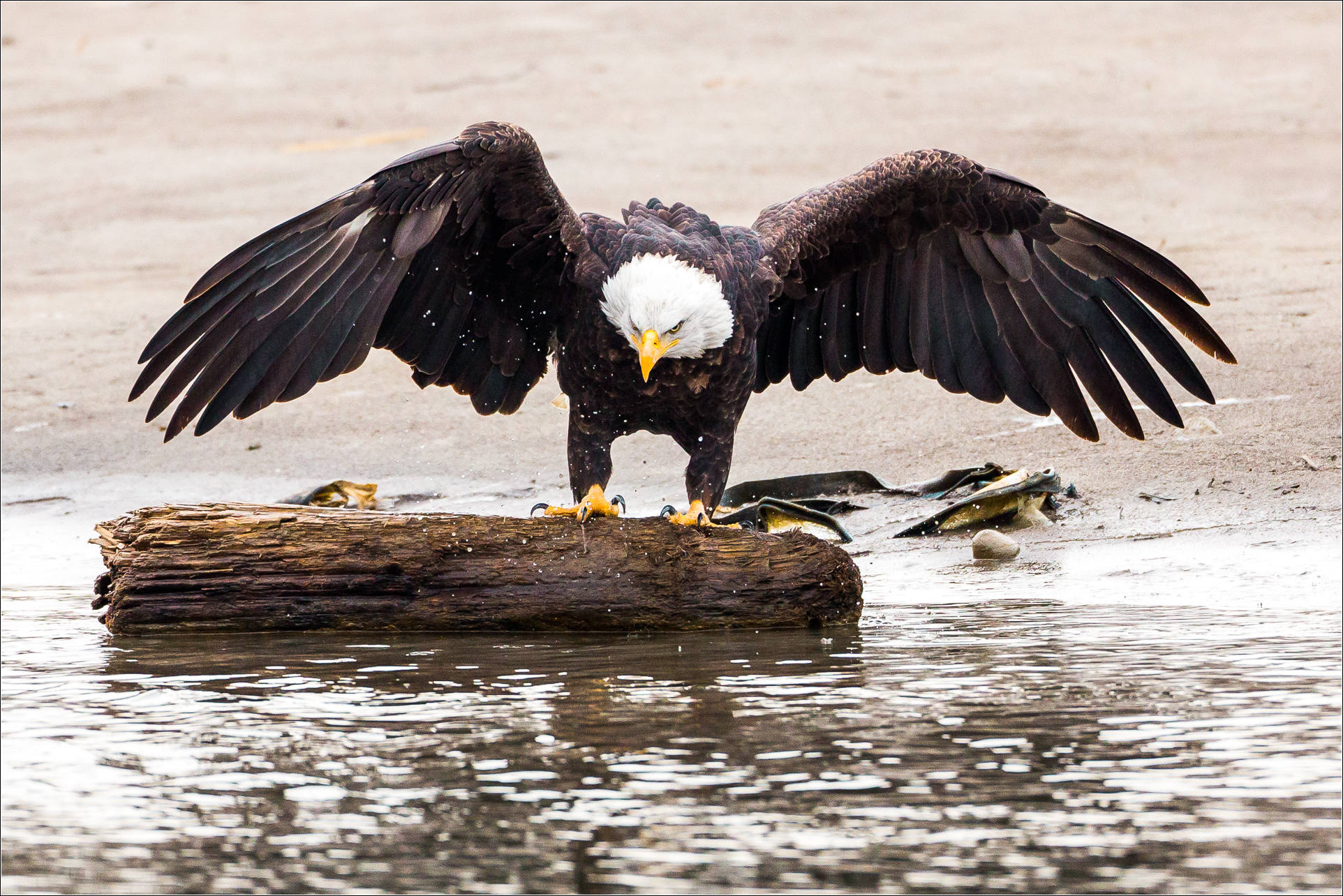 Eagle Catching Fish Drawing Canon 5DIII   500mm f4 lens