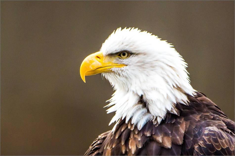 Eagle Portrait - 2013 © Christopher Martin