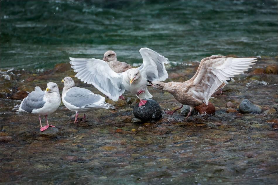 Seagull skirmishes - 2013 © Christopher Martin