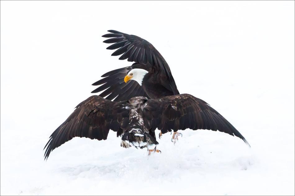 Eagle ballet - 2013 © Christopher Martin