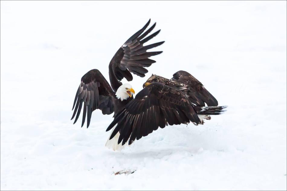 Eagle Skirmish - 2013 © Christopher Martin