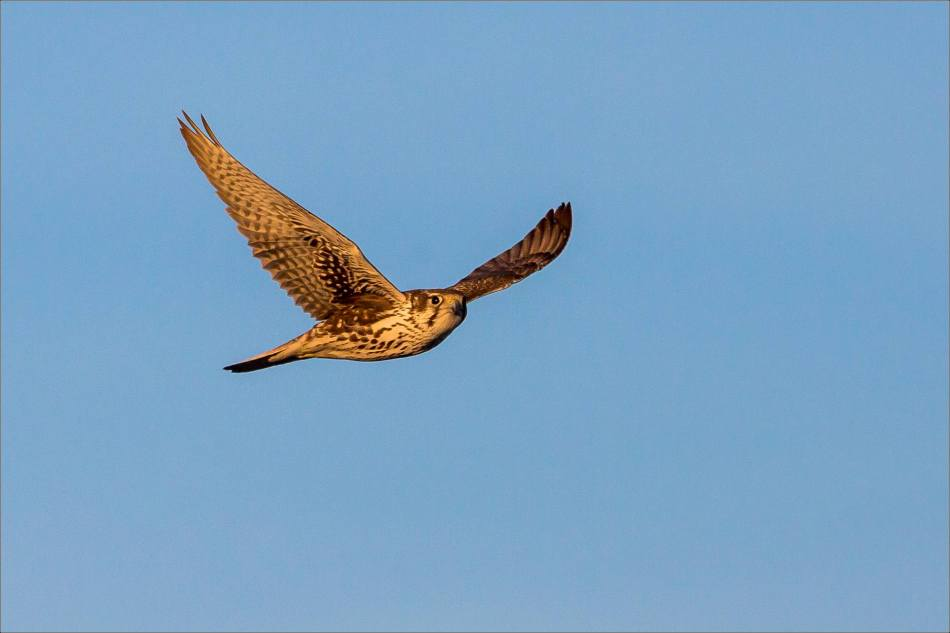 Prairie Falcon in golden light - 2014 © Christopher Martin