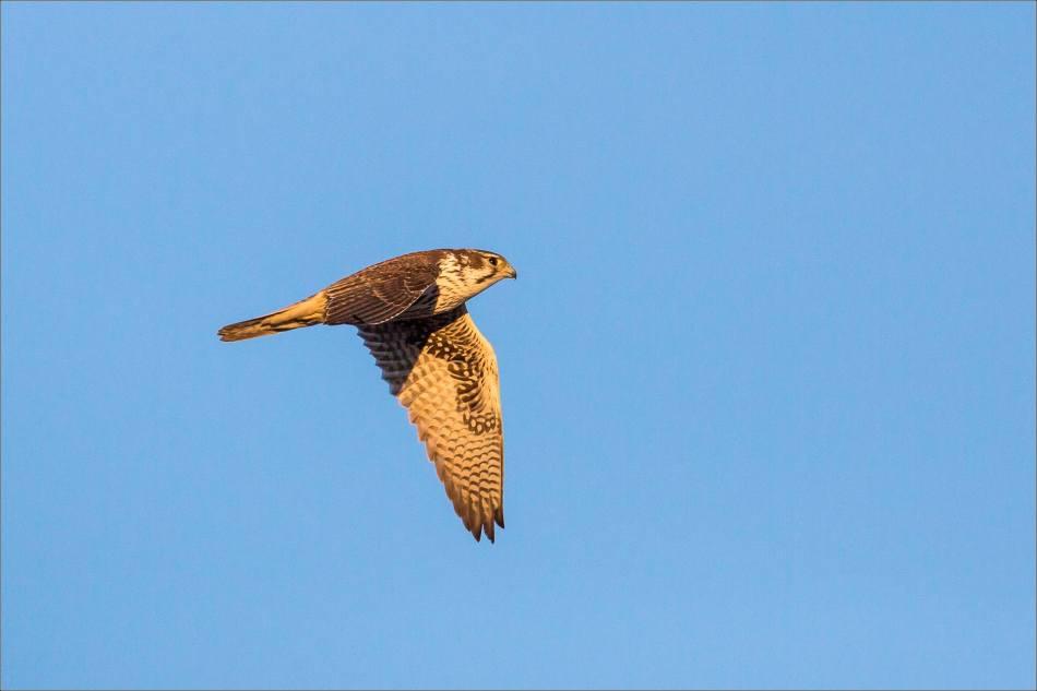 Falcon's downstroke -2014 © Christopher Martin