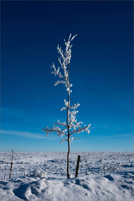 Standing tall amid winter on the prairie - 2013 © Christopher Martin