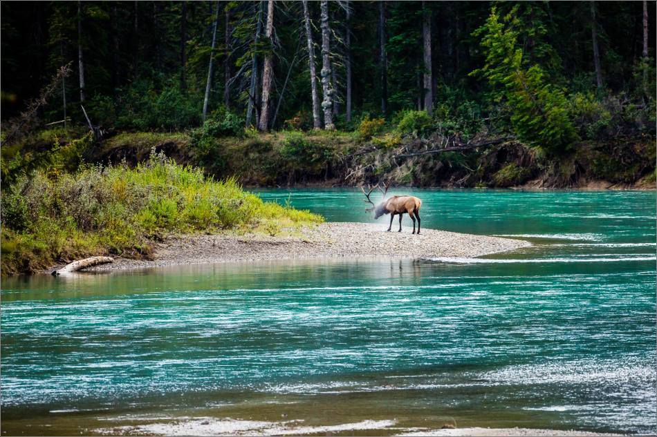 """Wapiti Water Shake"" in the Banff National Park"