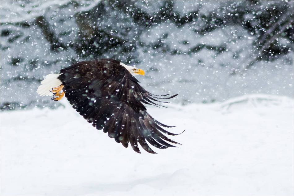 A Bald Eagle's winter flight - 2013 © Christopher Martin