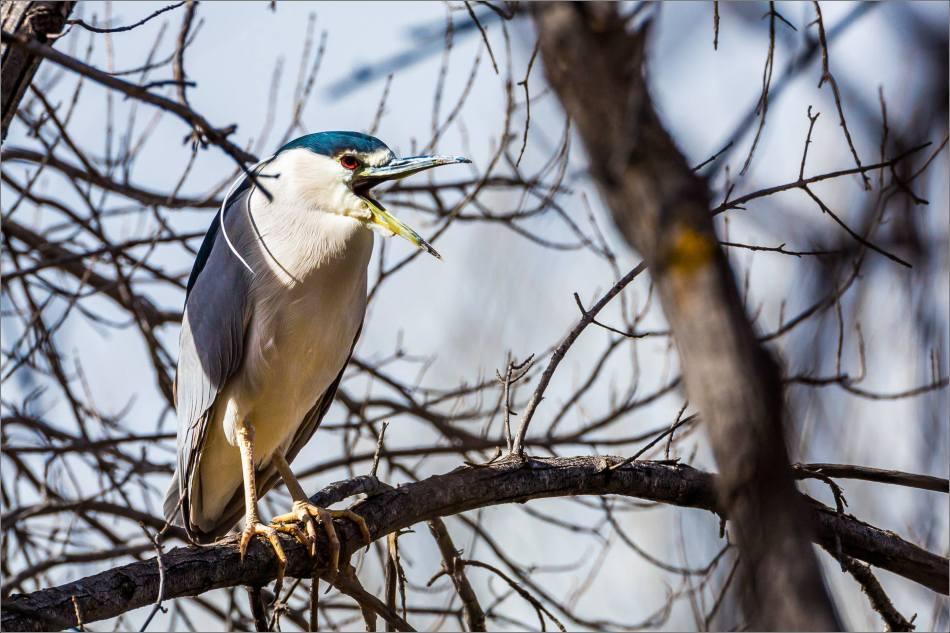 Heron's yawn - 2014 © Christopher Martin