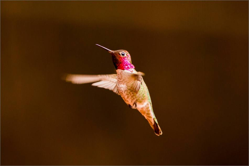 Anna's Hummingbird - 2014 © Christopher Martin