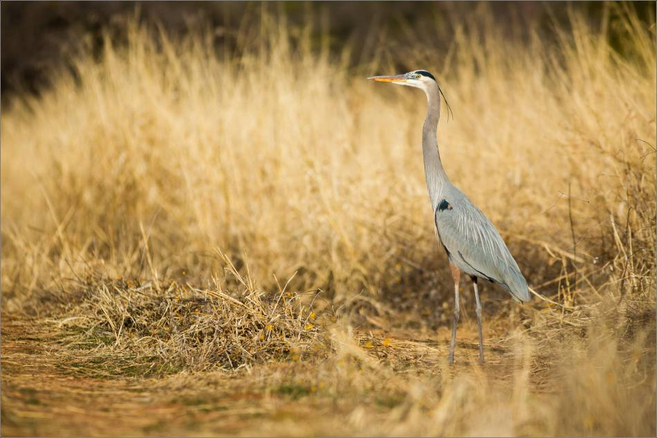 Great Blue Heron in the grass - 2014 © Christopher Martin