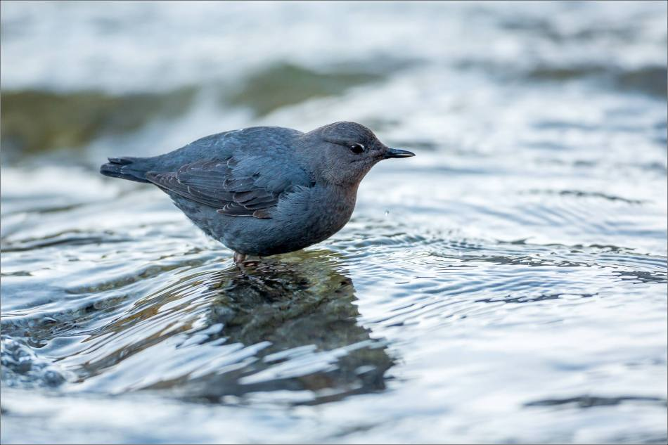 Dipper Portraiture - 2014 © Christopher Martin