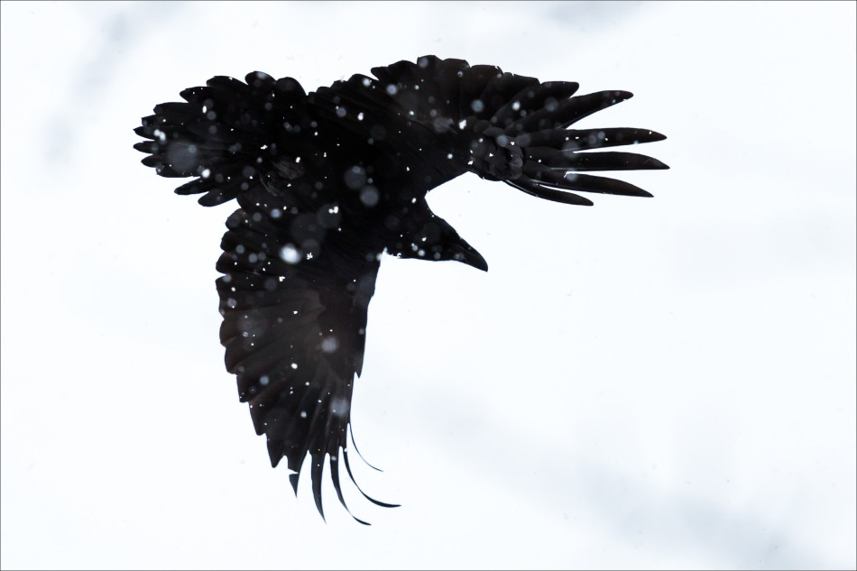 Raven flight - 2014 © Christopher Martin