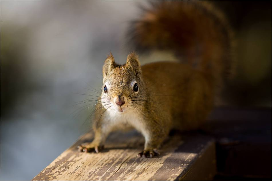 Deck squirrel stand off - 2014 © Christopher Martin