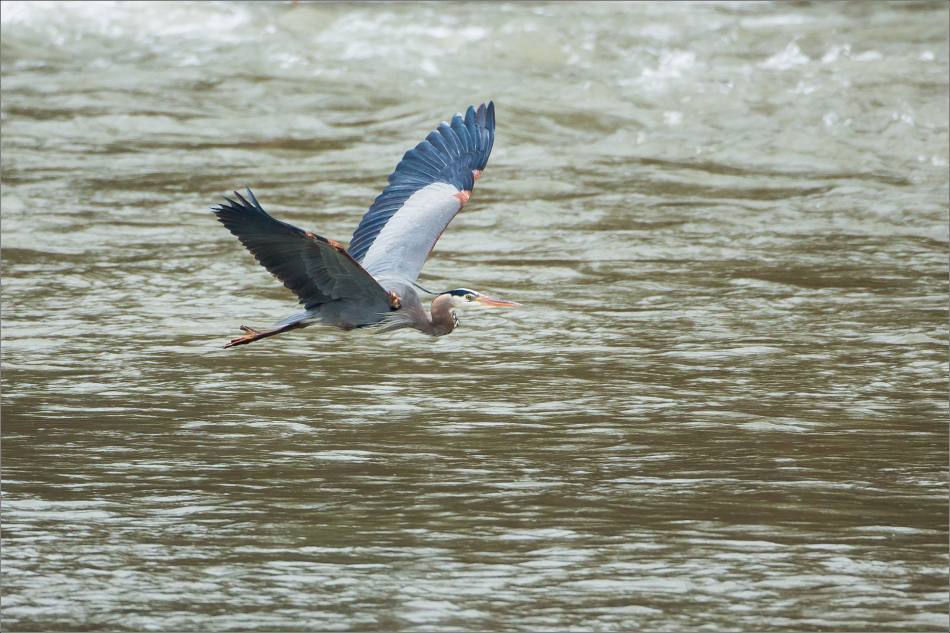 Elk River Heron flight - 2014 © Christopher Martin