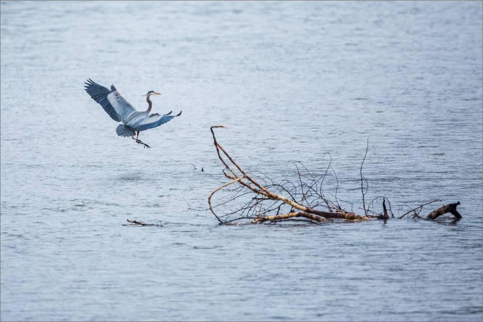 Heron landing - 2014 © Christopher Martin