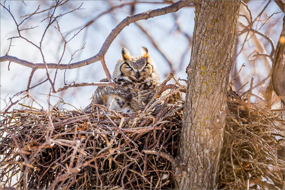 Owl and owlets - 2014 © Christopher Martin