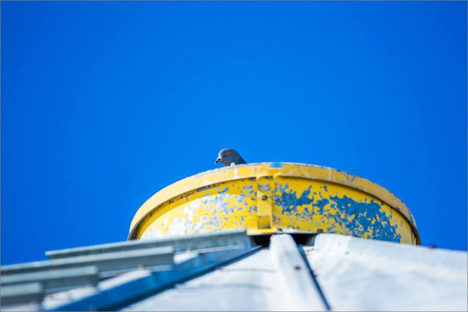 Peeking Pigeon - 2014 © Christopher Martin