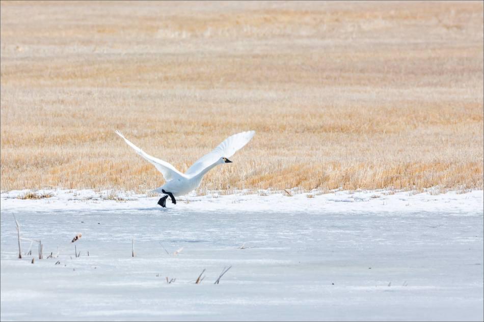 Running to take flight - 2014 © Christopher Martin