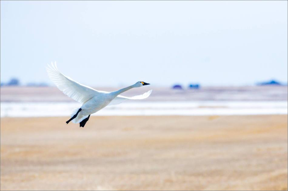 Tundra Swan flight - 2014 © Christopher Martin
