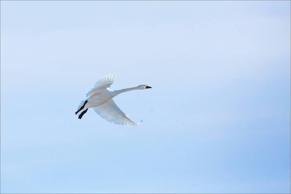Tundra Swan flight - 2014 © Christopher Martin