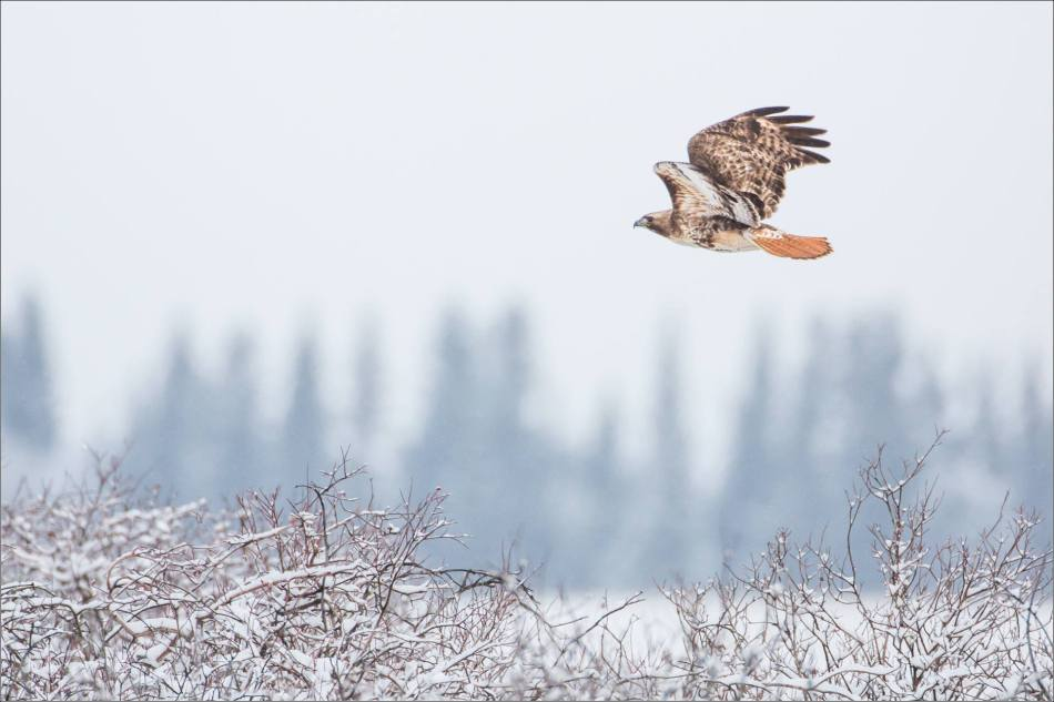 Red-tailed flight - 2014 © Christopher Martin