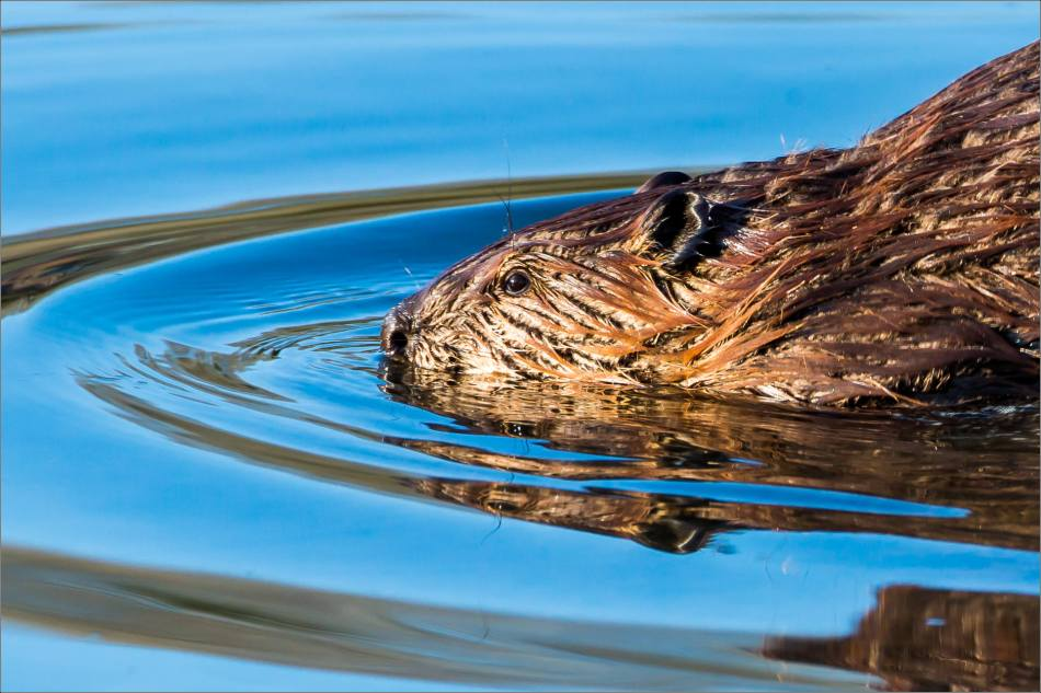 Beaver on the lake at Wild Rose - 2014 © Christopher Martin