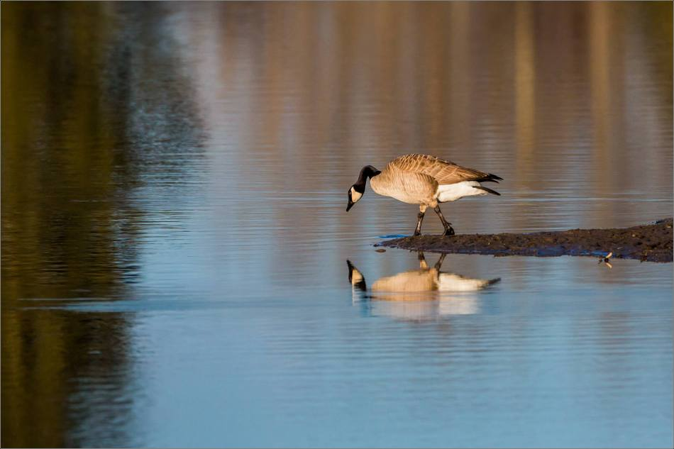 Canada Goose reflected - 2014 © Christopher Martin