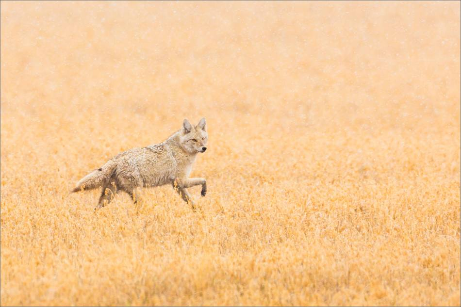 Coyote in the storm - 2014 © Christopher Martin