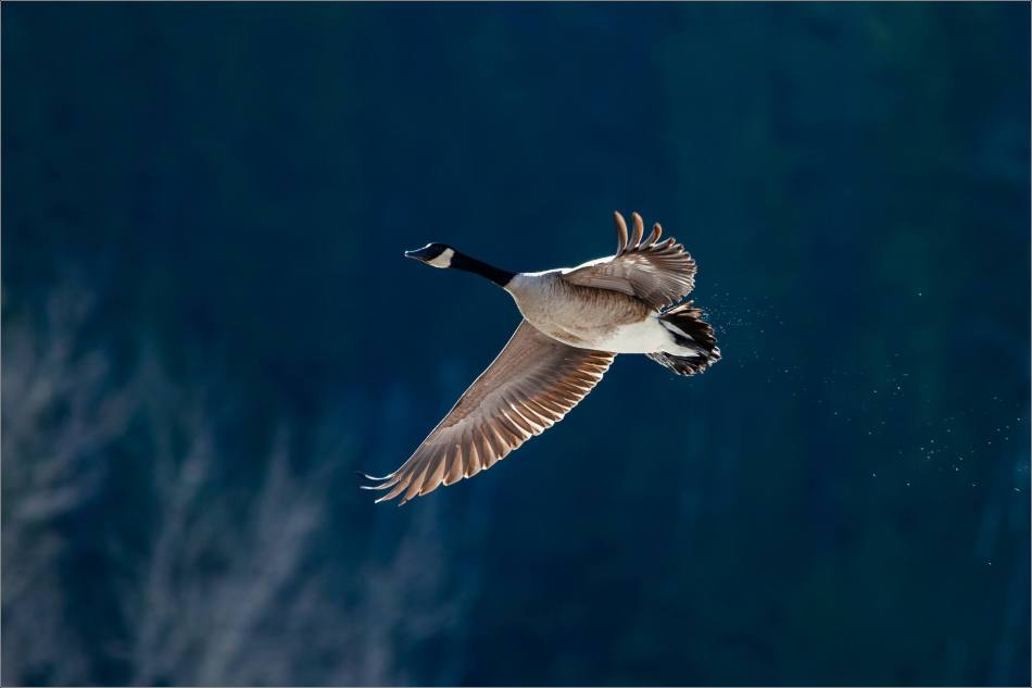 Canada goose in flight - 2014 © Christopher Martin