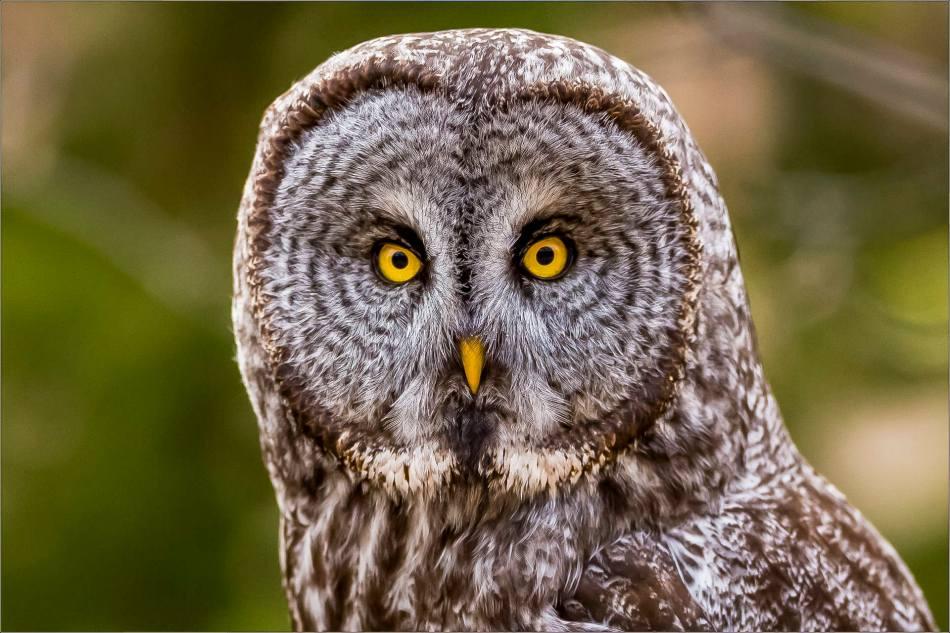 Owl portrait - 2014 © Christopher Martin