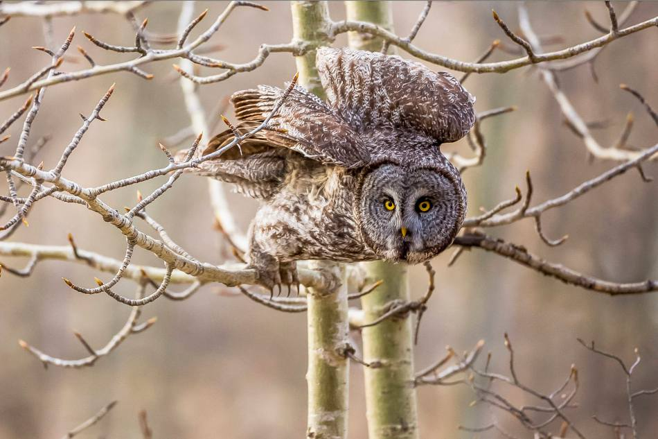 Great Gray Owl Launch - 2014 © Christopher Martin