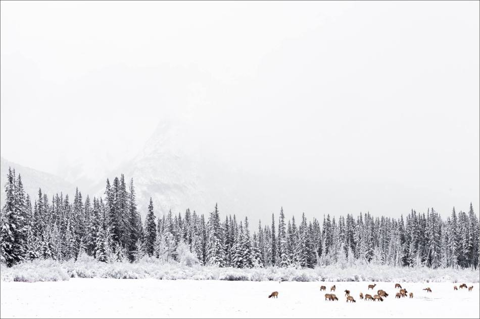 Elk on the edge of Vermilion Lake - 2014 © Christopher Martin