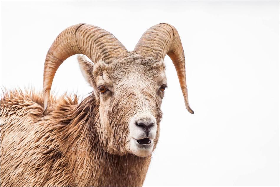 Ram's stare - 2014 © Christopher Martin