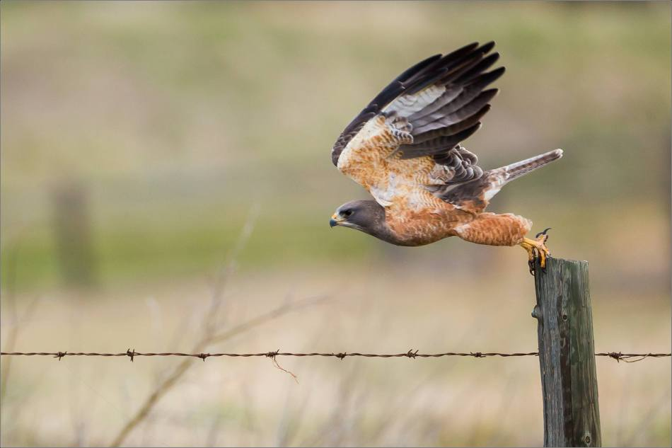 A Red-tailed Hawk launches off a post on the prairie west of Calgary, Alberta, Canada.  2014 © Christopher Martin