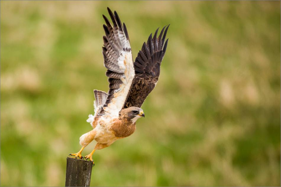 Swainson's Hawk extended - 2014 © Christopher Martin