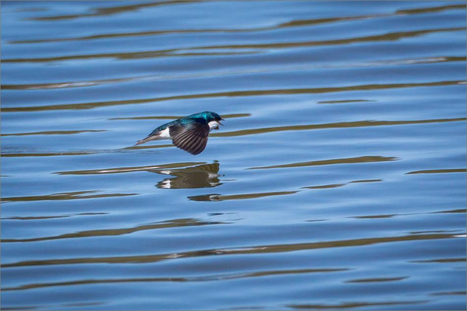 Water skimming Tree Swallow - 2014 © Christopher Martin
