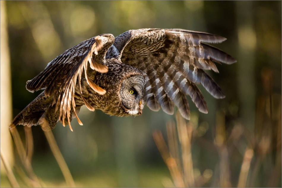 Great Gray Owl on the hunt - 2014 © Christopher Martin